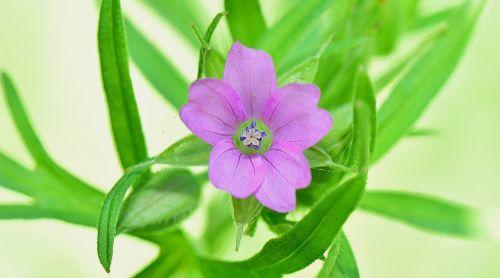 gamta,gėlė,gėlės,raudona,augalai,sodas,makro,violetinė,kraštovaizdis