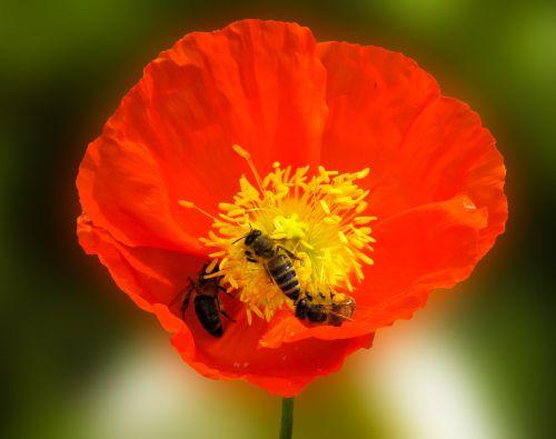 gamta,gėlė,gyvūnas,bičių,aguona,nektaras,žiedas,žydėti,žydėti