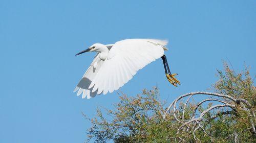 gamta,paukštis,Egret,Wader