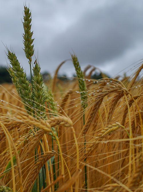 gamta,grūdai,miežiai,Žemdirbystė,laukas,laukinės kultūros,derlius,grūdai,augalas,miežių laukas,maistas,mityba,vasara,lietus,vitaminai,sveikas,spiglys,valgyti,kukurūzų laukas,skanus,ariamasis,duona