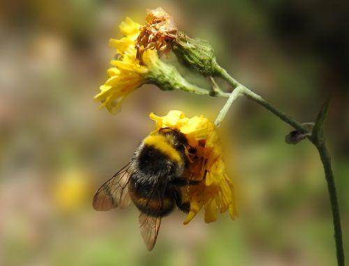 gamta,Hummel,vabzdys,žiedas,žydėti,sunkiai dirbantis,žiedadulkės,apdulkinimas,augalas,rinkti nektarą,pieva hummel