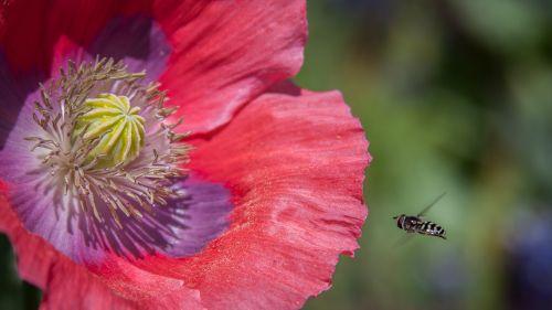 gamta,bitės,žiedadulkės,pavasaris,gėlė,vabzdys,makro,aguonos,žydėti,flora,žiedas,laukinė gamta,augalas