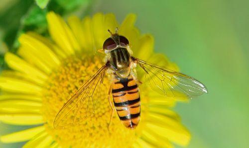 gamta,skristi,vabzdžiai,makro,bichito,gėlė,gadfly,vabzdžių makro,gamtos makro,laukas,sodas,vabzdys,augalas,gėlės,maža gėlė,augalai,geltona,kraštovaizdis,mygtukas raudonas,kirminas,laukai,lerva,priekinio plano,pasėliai,plantacija,armijos kirmėlė,vasara,maras,ekologija,driežas,ropliai,gyvūnai,gyvūnas,ropliai,fauna,džiunglės,natūralus,akis,šiluma,akmuo,laukiniai,gyvenimas,svarstyklės,lazda,lapai,sparnas,vanduo,upė,Tyras vanduo,natūralus vanduo,kristalinis,skaidrus vanduo,šaltinis,burbuliukai,užtvankos,aiškumas,upelis,skaidrus vanduo,Grynumas,reaktyvinis,gėlas vanduo,kristalinis vanduo,jūra,srautas