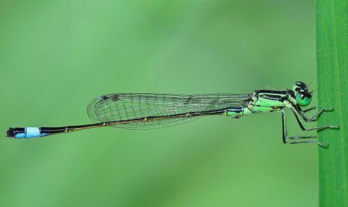 gamta,damselfly,sparnuotas vabzdys,lazda,skraidantis vabzdys,vabzdys,grožis,filialas,išsamiai