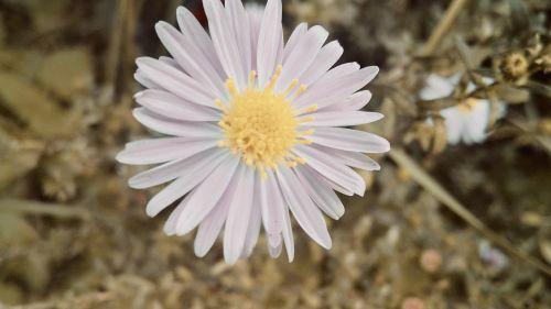 gamta,gėlė,graži gėlė,gamtos gėlė,žiedas,žydėti,gėlės,flora,laukinė gėlė,žinoma,sodas