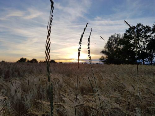 gamta,abendstimmung,saulėlydis,kraštovaizdis,twilight,tylus,siluetas,voras,laukas,vakarinė šviesa,ausis,spiglys