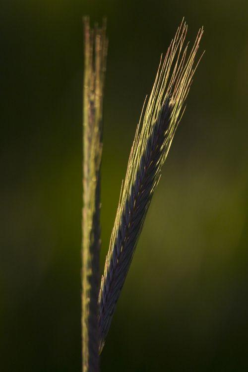 gamta,grūdai,Žemdirbystė,žalias,rugiai,miežiai,kvieciai,kukurūzų laukas,laukinės kultūros,miežių laukas,maistas,rugių laukas,grūdai,laukas,javai,maistingi miežiai,pagrindinis maistas
