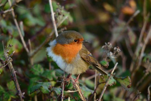 gamta,laukinė gamta,paukštis,medis,lauke,robin,vėjas,sugadintas,plunksnos,raudona krūtinė,laukiniai,maitinimas