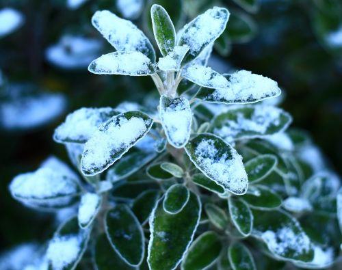 gamta,flora,medis,žiema,lapai,sidabras,šaltis,šventinis,balta,dekoratyvinis,sezoninis,filialas,snieguotas,augalas,sodas,mėlynas