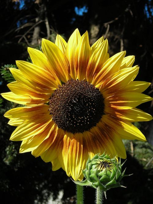 gamta,silfio laciniatum,gėlė,vasara,sodas,saulėtas,Uždaryti,geltona,žiedas,žydėti,šiluma,saulėtas geltonasis,saulės gėlė