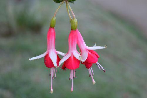 gamta,lauke,gėlė,sodas,šviežias,makro,raudona