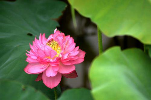 gamta, augalas, lapai, gėlė, lotosas, tvenkinys, pikonio lotosas, spalvingas gražus, žiedlapiai, be honoraro mokesčio