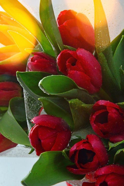 gamta, tulpė, lapuočiai, gėlė, puokštė de fleurs, augalas, spalva, gėlių, žydi, gyvas, gražus, puokštė, šviežumas, rasa, spalvinga puokštė, gėlių puokštė, supjaustytos gėlės, nuotaika, tulpių puokštė, celofanas, díszcsokor, moterų diena, motinos diena yra, gimtadienis, gėlių puokštė, stilius, be honoraro mokesčio
