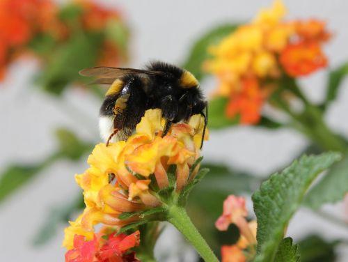 gamta, gėlė, augalas, vabzdys, vasara, sodas, bičių, žiedadulkės, Uždaryti, apdulkinimas, Hummel, geltona, žiedas, be honoraro mokesčio