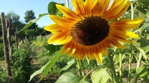 gamta, augalas, vasara, gėlė, lapai, metodas, laukas, sodas, gražus, kaimo vietovė, lauke, saulė, gėlių, spalva, sezonas, gražus, saulėgrąžos, geltona, be honoraro mokesčio