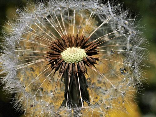 gamta, kiaulpienė, flora, sėkla, trapumas, be honoraro mokesčio
