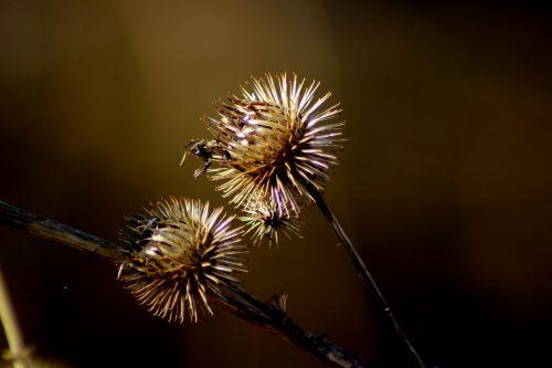 gamta, drakonas, augalas, laukinė gėlė, drakoninės gėlės, išblukęs darinys, dygliuotas, saulės šviesa, sausas, niūrus, išblukęs, be honoraro mokesčio