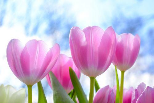 gamta, flora, gėlė, tulpė, vasara, sodas, šviesus, lapai, žiedlapis, sezonas, spalva, gėlių, Velykos, lukštas, augimas, žydi, lauke, šviežumas, be honoraro mokesčio