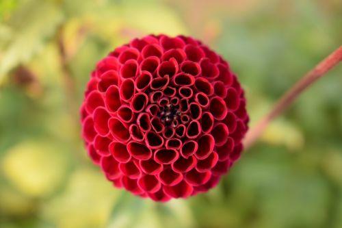 gamta, dahlia, vasara, gėlė, raudona, oranžinė, žalias, vienas, paprastas, aukščiau, apvalus, spalvinga, be honoraro mokesčio, sodas, be honoraro mokesčio