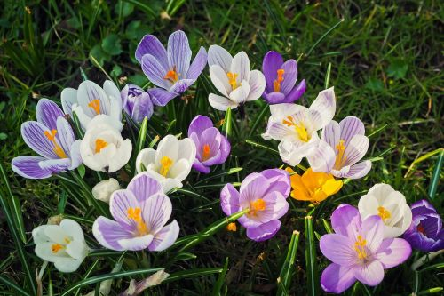 gamta, augalas, gėlė, sodas, gėlės, žolė, sezonas, pieva, žiedlapis, gėlių, šviesus, spalva, Uždaryti, grožis, žiedas, žydėti, Crocus, violetinė, spalvinga, pavasaris, spalvinga gėlė, violetinė, gėlė violetinė, purpurinė gėlė, gražus, romantiškas, laukinė gėlė, be honoraro mokesčio