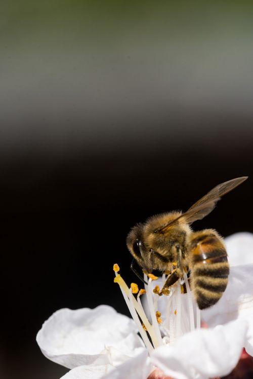 gamta, bičių, vabzdys, gėlė, žiedadulkės, medus, skristi, vasara, apdulkinimas, Uždaryti, gyvūnas, mažas, fonas, be honoraro mokesčio