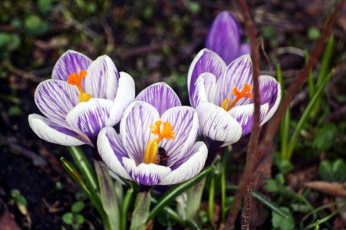 gamta, gėlė, augalas, sezonas, sodas, pasivaiksciojimas parke, pavasaris, Crocus, hamburgas, Hanzos miestas Hamburgas, hamburgensien, be honoraro mokesčio