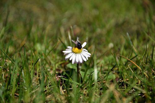 gamta, žolė, augalas, laukas, pieva, gėlė, kaimas, sezonas, aplinka, lapai, laukiniai, Uždaryti, skristi, Daisy, be honoraro mokesčio