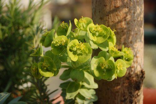 gamta, euphorbija, pavasaris, sultingas augalas, be honoraro mokesčio