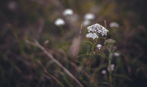 pobūdį, lauke, gėlė, augalų, žolė, lapas, krupnyj planas, laukas, laukinių, kraujažolės, pieva gėlės, laukinių žolių, vasaros gėlės, laukinių gėlių, Laukiniai augalai, meadow, gražus