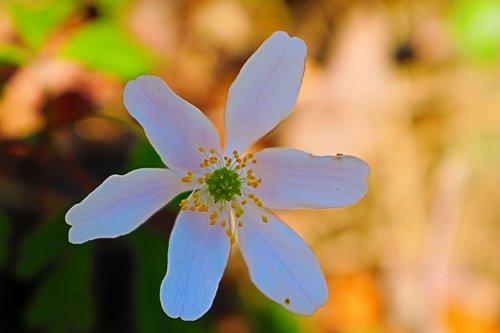 pobūdį, gėlė, augalų, lapų, vasara, Sodas, trapumas, Iš arti, laukinių gėlių