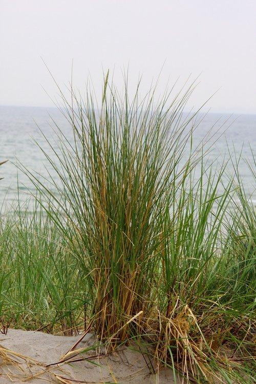 pobūdį, žolė, vasara, augalų, Reed, Baltijos jūra, vandens, jūra, Dune, vasara augalas, gėlė, gražus, žalias, mėlyna, smėlis