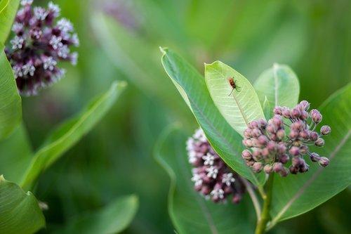 pobūdį, floros, gėlė, vasara, milkweed, Wildflower