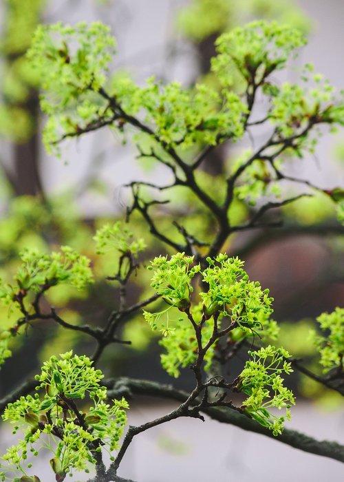 pobūdį, lapų, augalų, medis, augimas, Maple, žiedas, žydi, klevo žiedas, žiedas, pavasaris, spyruoklė pabudimo, žalias, filialas