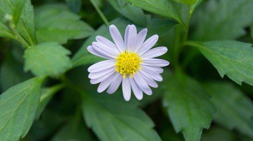 pobūdį, floros, lapų, vasara, gėlė, Sodas, Iš arti, Žiedlapis, lauke, gėlių, žydi, šviesus, šviežumas, žydi, žiedas, makro, Daisy, pavasaris, žydi, sodininkystė, botanika