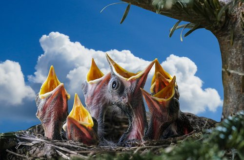 pobūdį, gyvūnai, paukštis, strazdas, lizdą, Blackbird lizdą, paukščių veisimo, jauna paukštis, Blackbird jauna, maitinti, bado, Bill, varzybos, jauna strazdas, jaunikliai