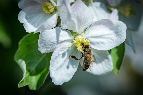 pobūdį, gėlė, augalų, vabzdys, bičių, žiedadulkės, lapų, Žiedlapis, apdulkinimas, Sodas, gėlės, Iš arti, vasara, medis