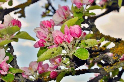 pobūdį, žiedas, žydi, žiedas, obelis ziedas, Iš arti, pavasaris