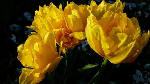 pobūdį, gėlė, augalų, Nė vienas asmuo, lapų, tulpė, gėlių, Žiedlapis, sezonas, įvykdymas, geltona, pavasario sezonas