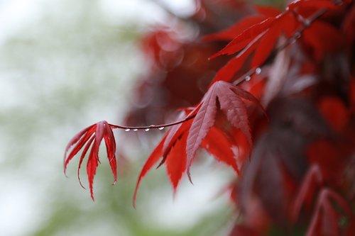 pobūdį, kai kurie žmonės ne, Žiemos, lapų, gėlės, ruduo, rudens lapai, klevo lapas, Maple, klevas, raudona klevo lapas, augalai, Sodas, srovelė, lietingą dieną, raudona, servetėlės, vandens lašas