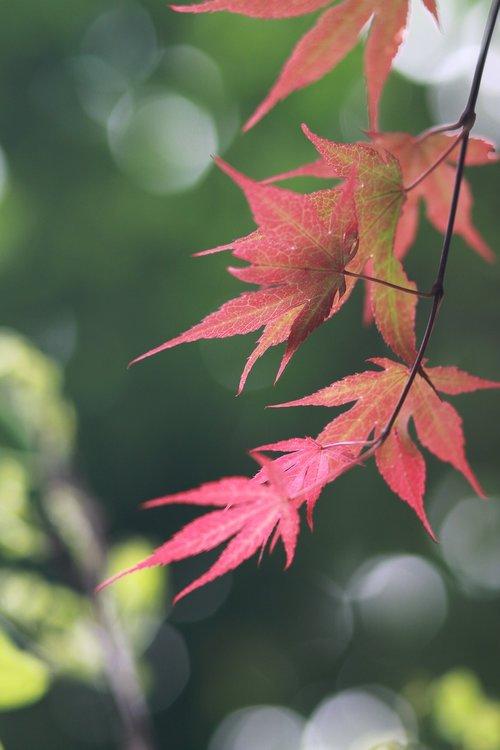 pobūdį, augalai, mediena, kai kurie žmonės ne, lapų, gėlės, ruduo, rudens lapai, klevo lapas, Maple, klevas, raudona klevo lapas, Sodas, raudona, servetėlės, lapai, būklė Sąjungoje, lauko, parkas, žali lapai, BUD, ryškus, Takeshi, švieži vidutiniai, šakos