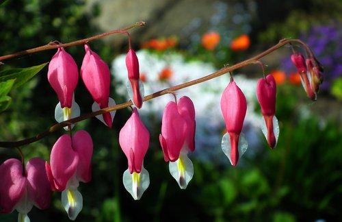 pobūdį, gėlė, Širdelės, rožinis, pavasaris, augalų, lapas
