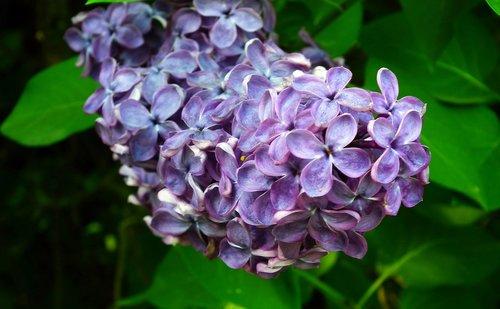 pobūdį, augalų, gėlė, judėjimas, mėlyna, lapų, sodas