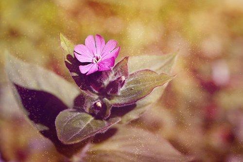 pobūdį, gėlė, augalų, lapų, vasara, raudona šakinys, rožinis, rožinė gėlė, žiedas, žydi, pavasaris, smailu gėlių, raudona catchfly, raudona melandrium, raudona waldnelke, dieną raudonai Campion, Viešpats kraujo, Iš arti