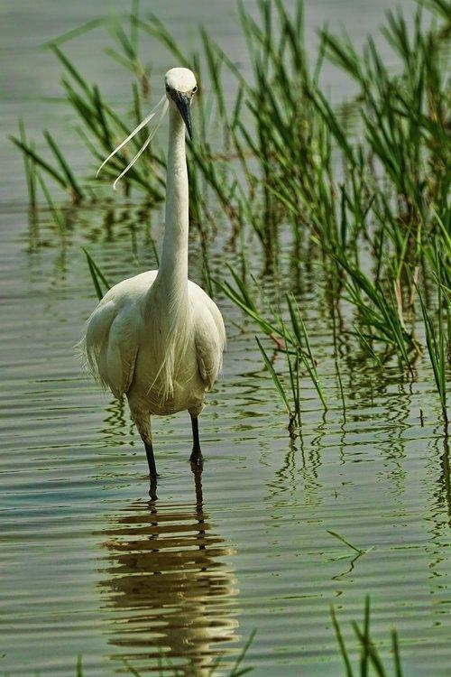 pobūdį, paukštis, garnys, vandenys, apie medžioklę, Gyvūnijos pasaulyje