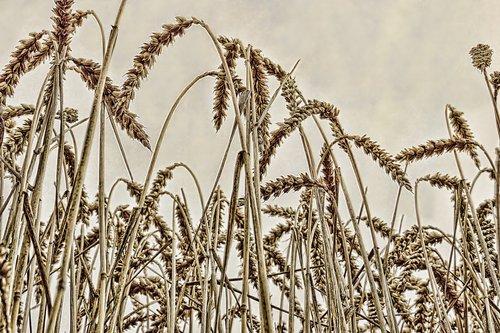 pobūdį, Žemdirbystė, rugių laukas, kviečių smaigalys, kaimo, vasara, kvieciai