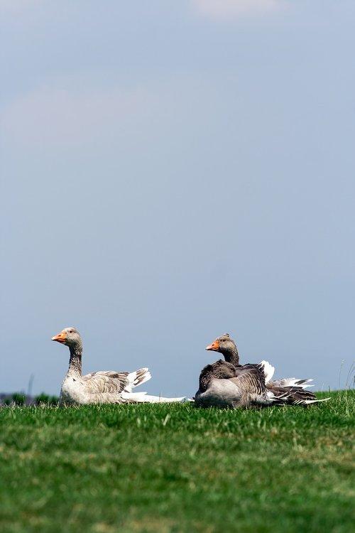 pobūdį, meadow, žolė, žalias, antys, paukščiai, gyvūnai, dieną, uodega, sparnai, sparnas, baltos spalvos, snapas, šventė, yra, dangus