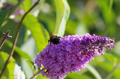 pobūdį, vabzdys, bičių, žydi, žiedadulkės, vasara, augalų, sodo, nektaro, žiedas, floros, medus, gėlės, apdulkinimas, šviesus