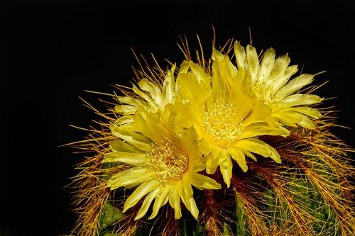 pobūdį, augalų, kaktusas, kaktusas gėlės, Iš arti, vasara