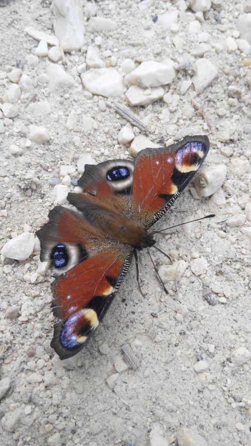 gamta,drugelis,gyvūnas,miškas,skraidantis vabzdys,vabzdys,makro,skraidantys vabzdžiai