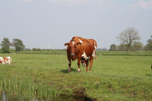 gamta,karvės,kraštovaizdis